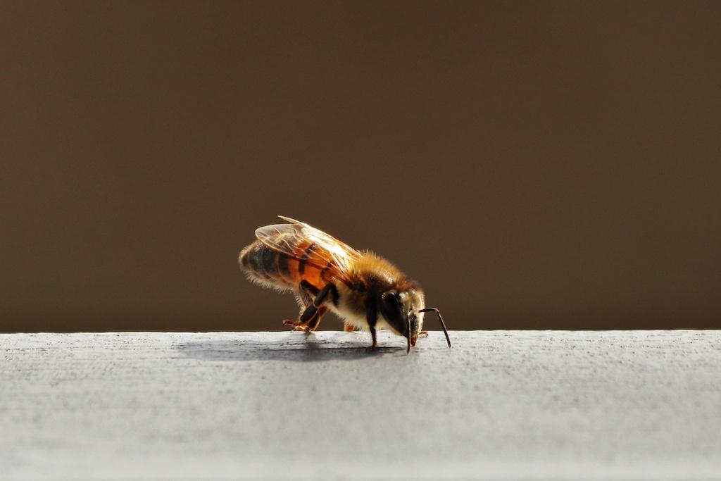 Selon une étude, la biodiversité des abeilles dans les villes est en danger